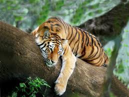 Tigres al asecho